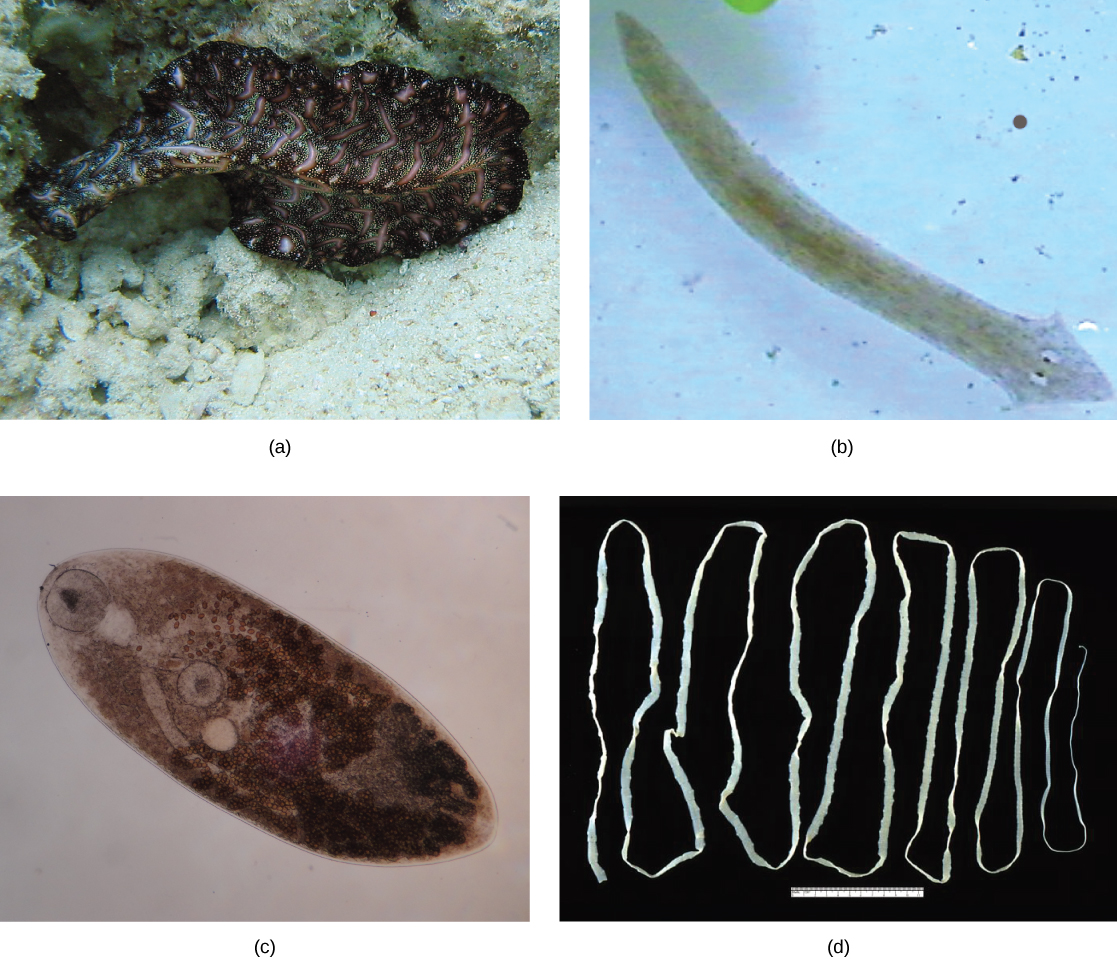 How do flatworms protect themselves?