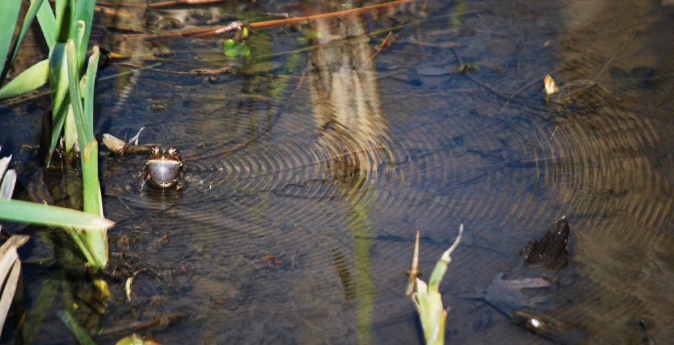 Photo of a frog sitting in a shallow pool of water. A concentric series of waves spreading out from the center where the frog's song has impacted the water.