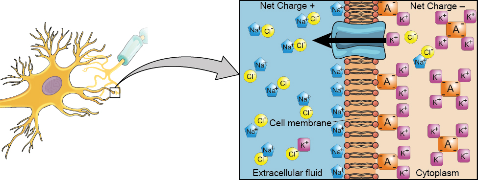 A close-up illustration depicts the difference in charges across the cell membrane, and shows how Na+ and K+ cells concentrate more closely near the membrane.