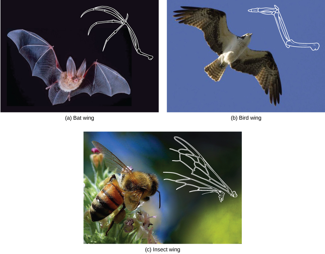 The (c) wing of a honeybee is similar in shape to a (b) bird wing and (a) bat wing, and it serves the same function
