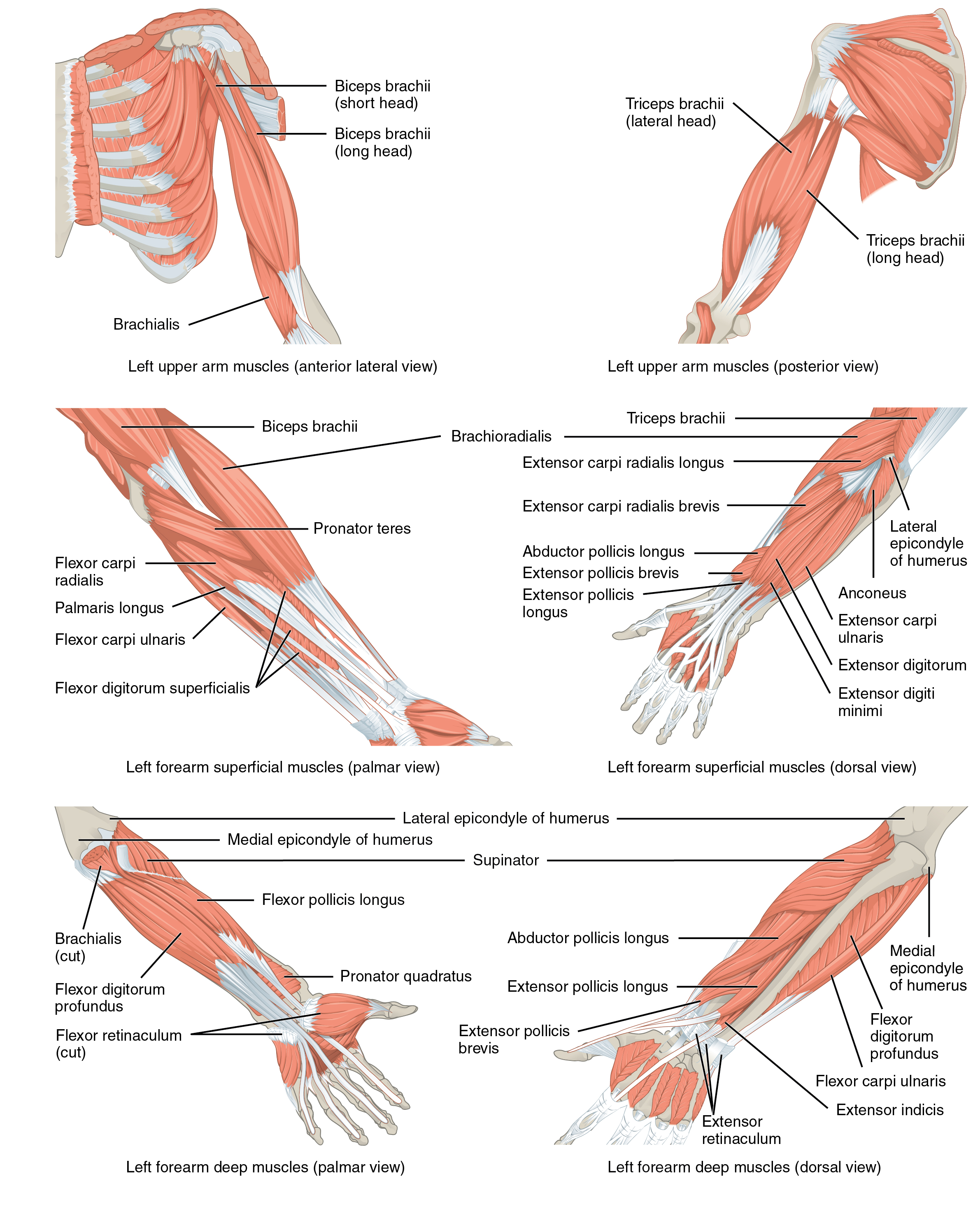 Muscles Of The Upper Arm Human Anatomy And Physiology Lab Bsb 141