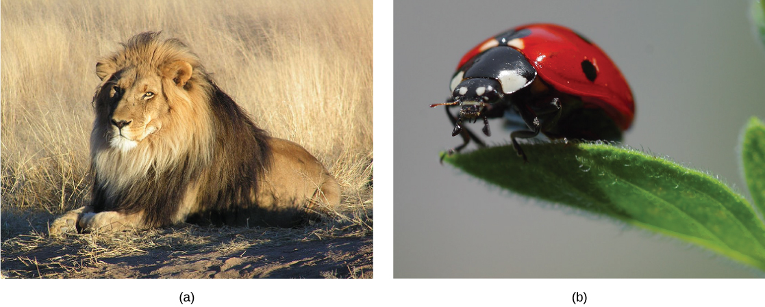 Top photo shows a lion. Bottom photo shows a ladybug.