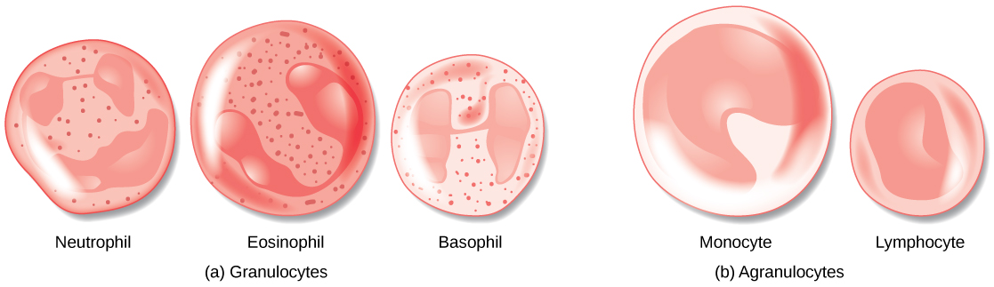Illustration A shows the granulocytes, which include neutrophils, eosinophils, and basophils. The three cell types are similar in size, with lobed nuclei and granules in the cytoplasm. Illustration B shows agranulocytes, including lymphocytes and monocytes. The monocyte is somewhat larger than the lymphocyte and has a U-shaped nucleus. The lymphocyte has an oblong nucleus.