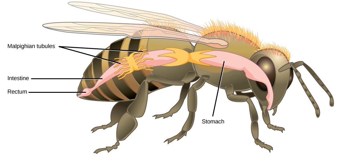 Illustration shows the digestive tract of a bee. Food enters the mouth, and then goes through the stomach to the intestine. The Malpighian tubules are wormlike protrusions that form a band around the intestine. After the intestine, food enters a bulge called the rectum, and exits through the anus.