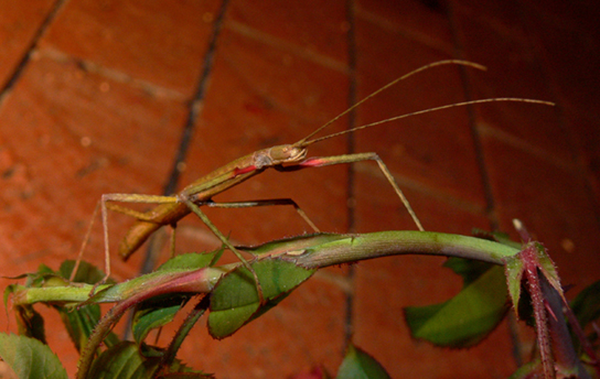 Photo (a) shows a green walking stick insect that resembles the stem on which it sits.