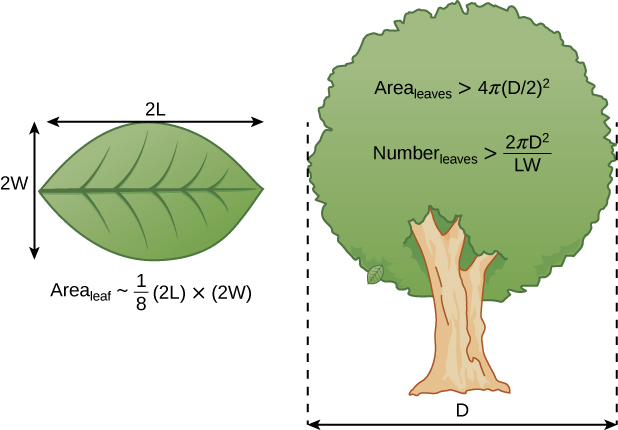 The figure shows a leaf on the left and a tree on the right. On the top of the left, there is a horizontal arrow labelled 2L and a vertical arrow labelled 2W. There is an equation that reads area of leaf, tilde sign, 1/8 (2L) times (2W). he tree has the follow equations: Area leaves greater than 4 pi (D/2) squared and Number leaves greater than 2 pi D squared over LW.