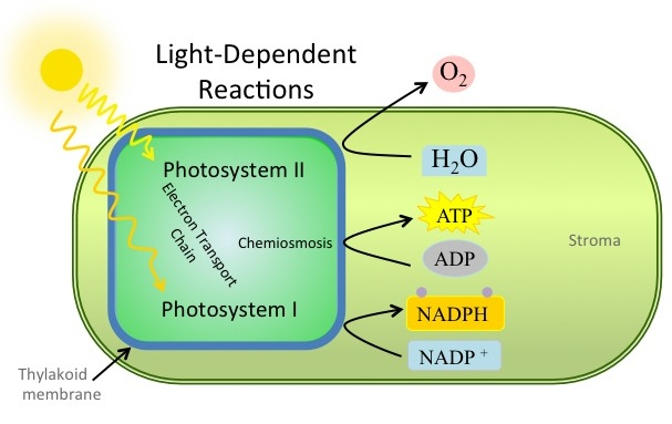 light dependent reactions Photosynthesis part i: overview & the light-dependent reactions photosynthesis: the big picture •the light reactions (light-dependent reactions.