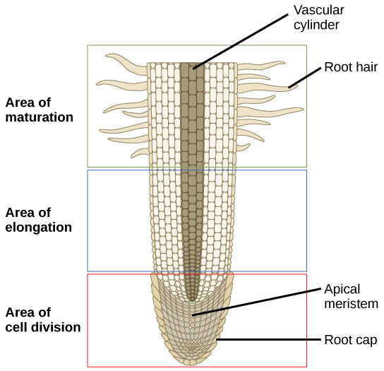 This lateral section of a root tip is divided into three areas: an upper area of maturation, a middle area of elongation, and a lower area of cell division at the root tip. In the area of maturation, root hairs extend from the main root and cells are large and rectangular. The area of elongation has no root hairs, and the cells are still rectangular, but somewhat smaller. A vascular cylinder runs through the center of the root in the area of maturation and the area of elongation. In the area of cell division the cells are much smaller. Cells within this area are called the apical meristem. A layer of cells called the root cap surrounds the apical meristem.