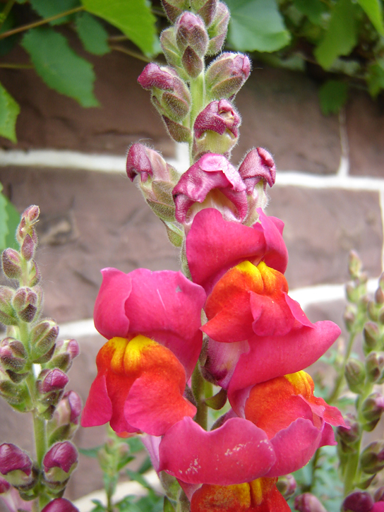 These pink flowers of a heterozygote snapdragon result from incomplete dominance