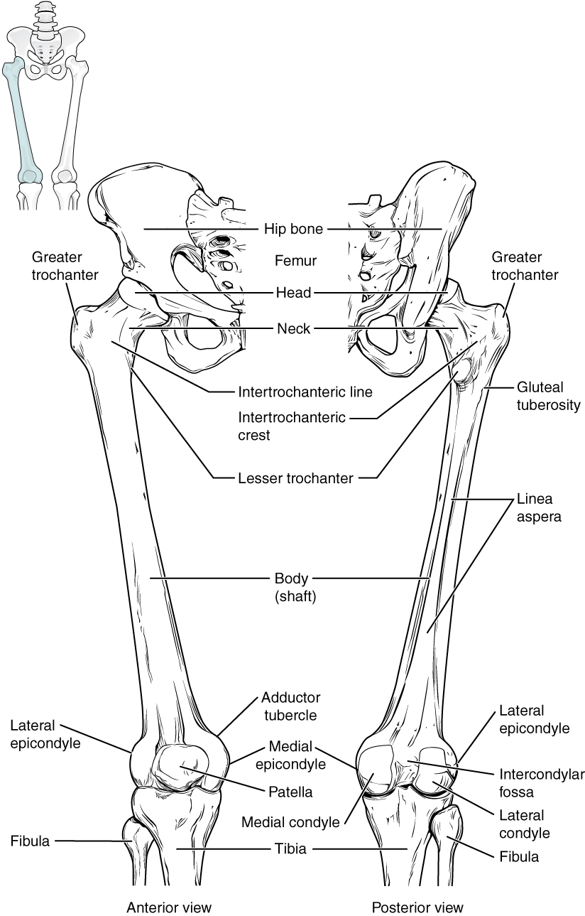 Uga anatomy and physiology 1 lab manual thigh linked to image 816 femur and patella ccuart Gallery