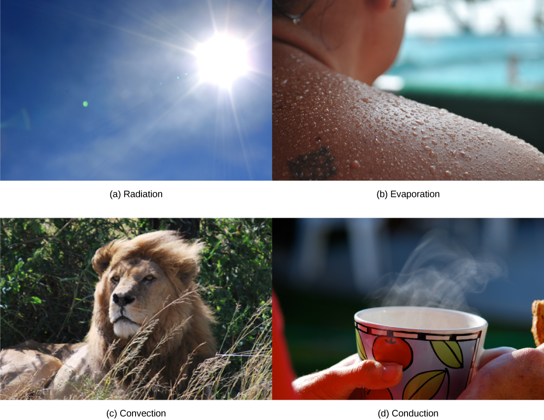 Photo A shows the sun. Photo B shows a sweaty person. Photo C shows a lion with its mane blowing in the wind. Photo D shows a person holding a steaming hot drink.