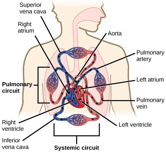 Mammalian heart and blood vessels biology ii illustration shows blood circulation through the mammalian systemic and pulmonary circuits blood enters the left ccuart Choice Image