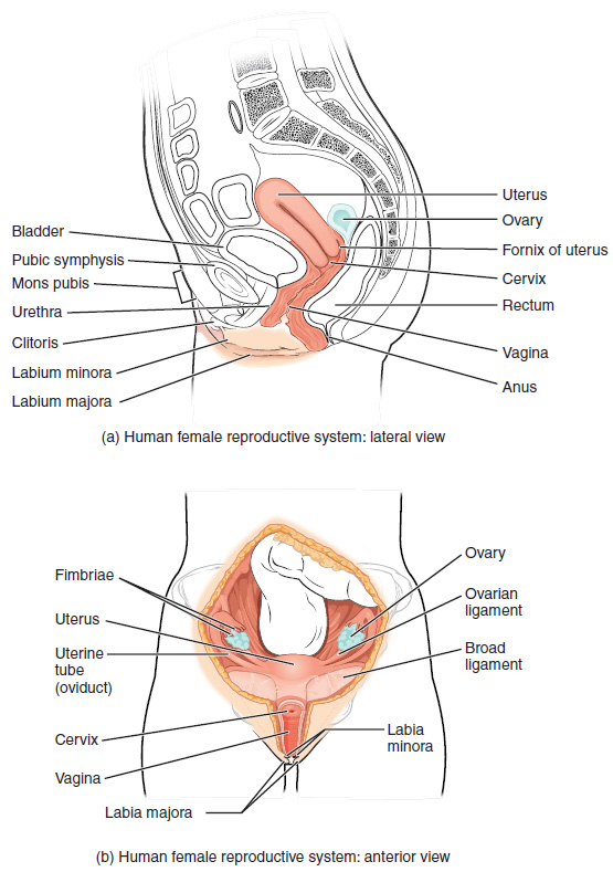 This figure shows the structure and the different organs in the female reproductive system. The top panel shows the lateral view and the bottom panel shows the anterior view.