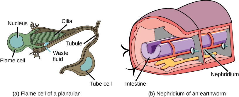 Illustration A shows a flame cell, which is bulb-shaped with cilia projecting from one end. The cilia form a point, like the tip of a paintbrush, inside as wide opening at the end of a tube cell. The tube cell narrows into a tubule, then widens into a body where the nucleus is located. The tubule continues past the cell body. Illustration B shows a cross section of an earthworm, which is segmented with walls separating each segment. The trumpet-like opening of a nephridium sticks out of the wall. Cilia surround the opening. Beyond the wall, the nephridium forms a tube that winds down to the ventral surface, where it connects with an opening to the exterior. Just above the opening the tube widens into a bladder.