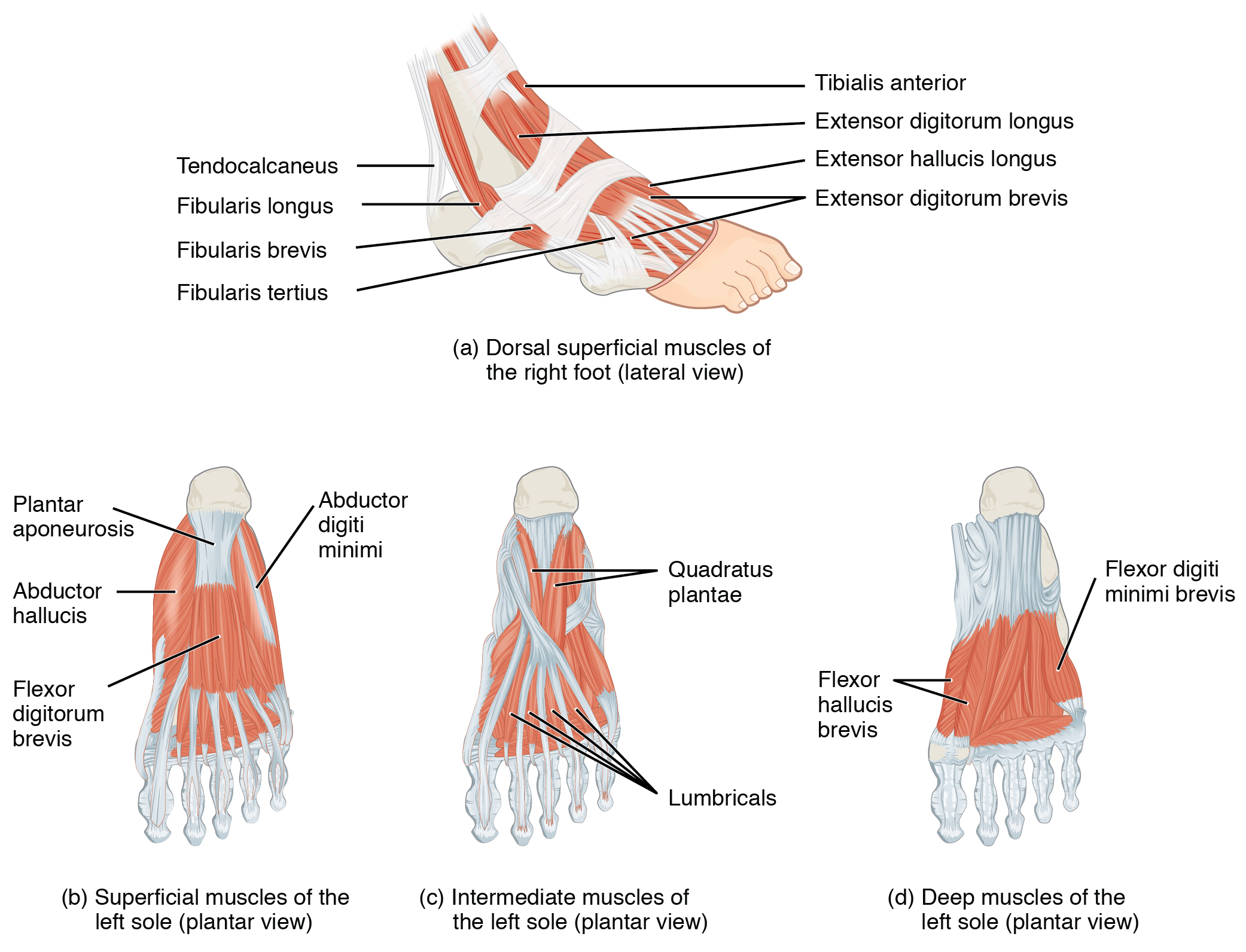 Muscles Of The Lower Leg And Foot Human Anatomy And Physiology Lab Bsb 141