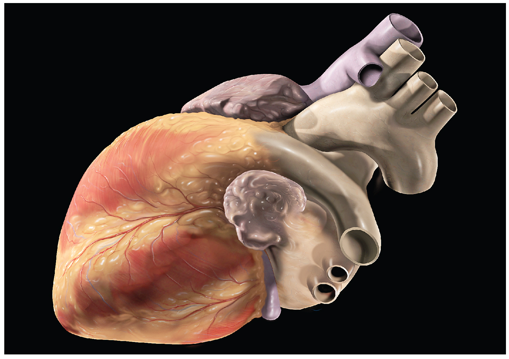 Introduction To The Heart Human Anatomy Openstax Cnx