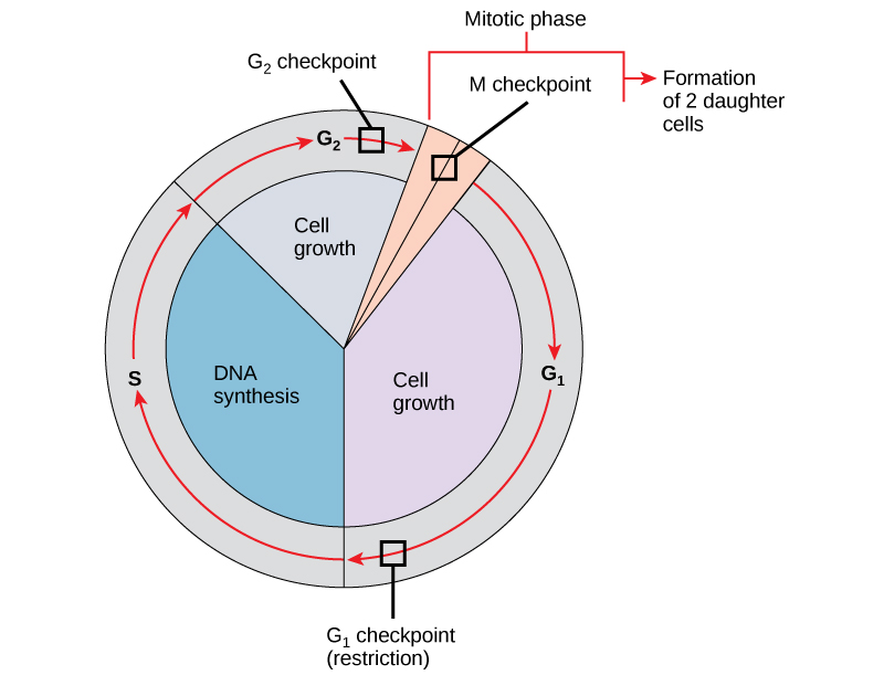 The cell cycle is controlled at three checkpoints