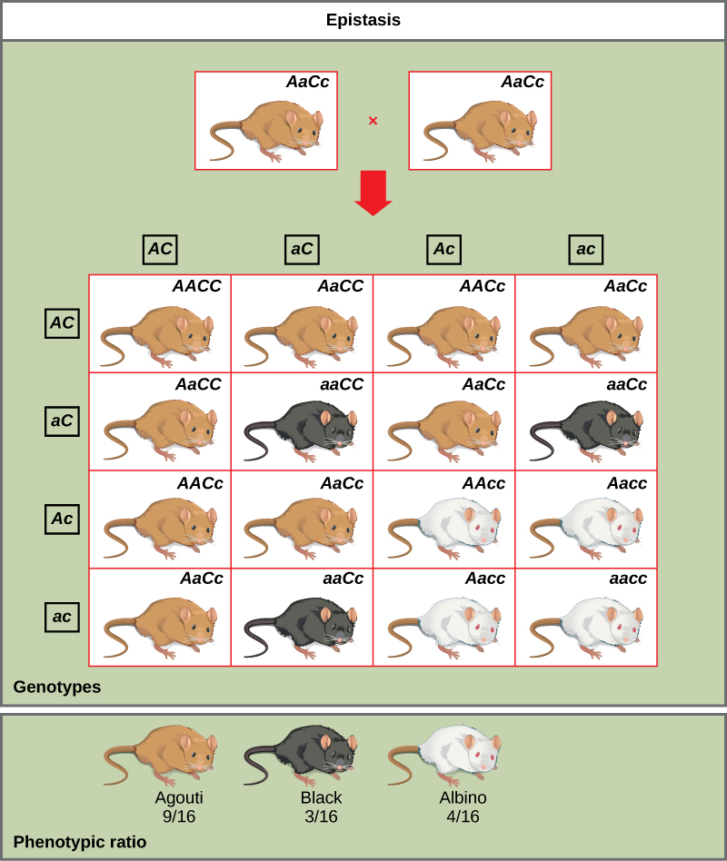 A cross between two agouti mice with the heterozygous genotype AaCc is shown. Each mouse produces four different kinds of gametes (AC, aC, Ac, and ac). A 4 × 4 Punnett square is used to determine the genotypic ratio of the offspring. The phenotypic ratio is 9/16 agouti, 3/16 black, and 4/16 white.