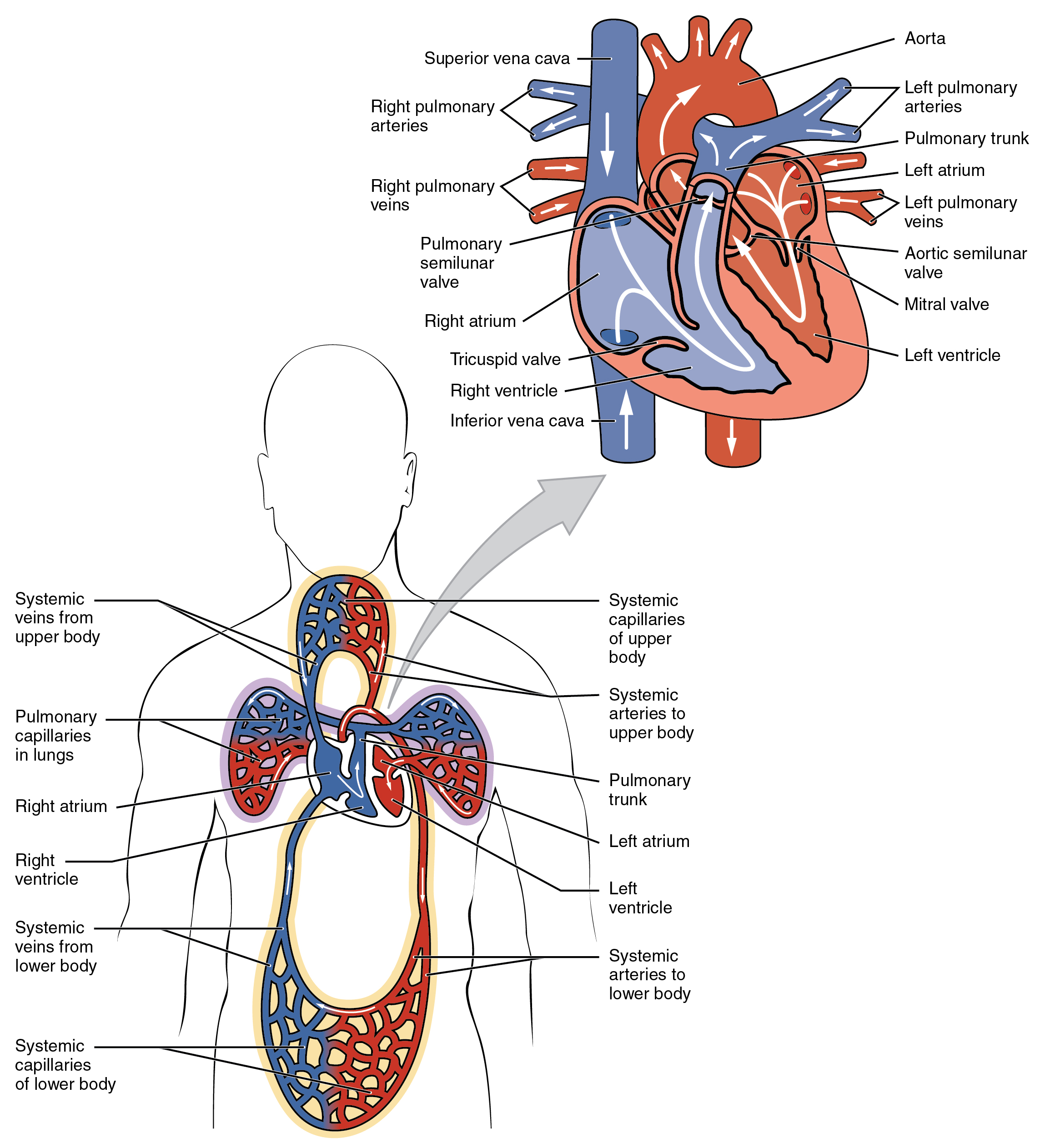 Heart chambers and circulation through the heart contemporary the top panel shows the human heart with the arteries and veins labeled the bottom blood flows from the right atrium to the right ventricle ccuart