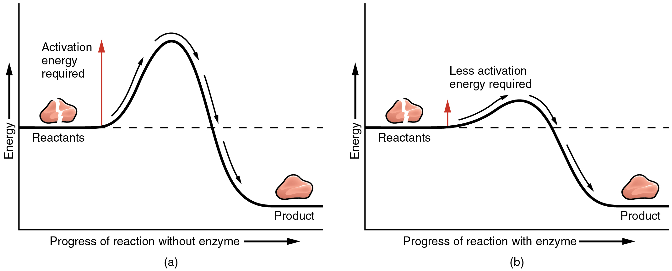 E book 03 chemical reactions enzymes and other catalysts enzymes the left panel shows a graph of energy versus progress of reaction in the absence of pooptronica Images
