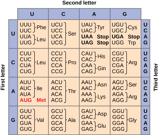 Figure shows all 64 codons. Sixty-two of these code for amino acids, and three are stop codons.