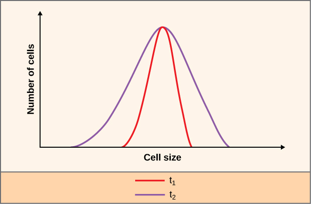 A graph showing the relationship between the number cells and cell size. The Y axis is labeled Number of cells. The X axis is labeled Cell size. The two bell shaped distribution curves are t 1 and t 2. T 1 is red and within T 2 which is purple.
