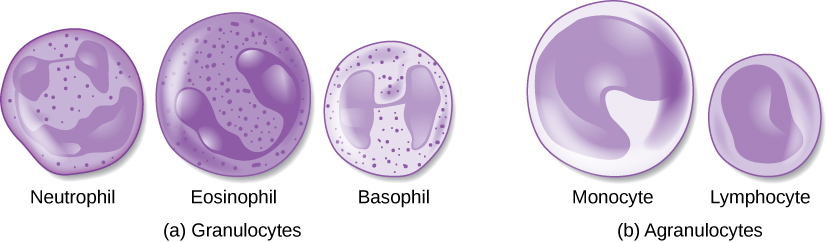 Two groups of blood cells are depicted: granulocytes and agranulocytes. The Granulocytes pictured are a neutrophil, eosinophil, and basophil. They all have a large dark blob inside as well as many small specks.  The agranulocytes depicted are a monocyte and lymphocyte. These cells lack specs and each have a smoother dark blob within them.