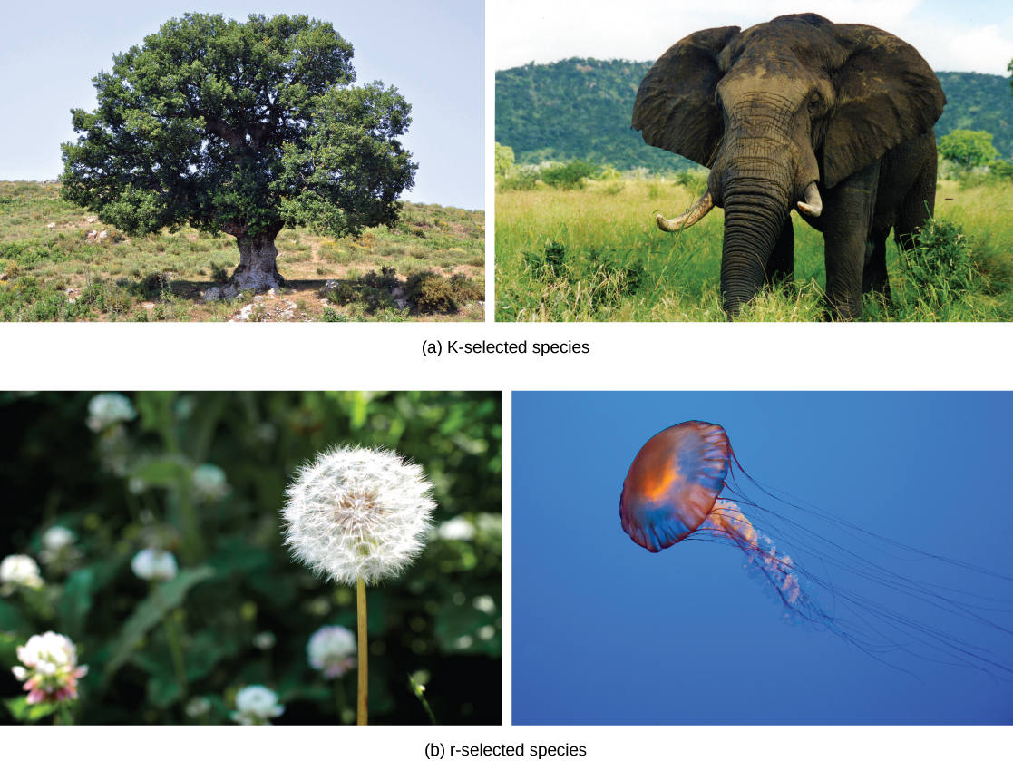 Part A, K-selected species, shows photos of an oak tree and an elephant. Part B, r-selected species, shows photos of a dandelion and a jellyfish.