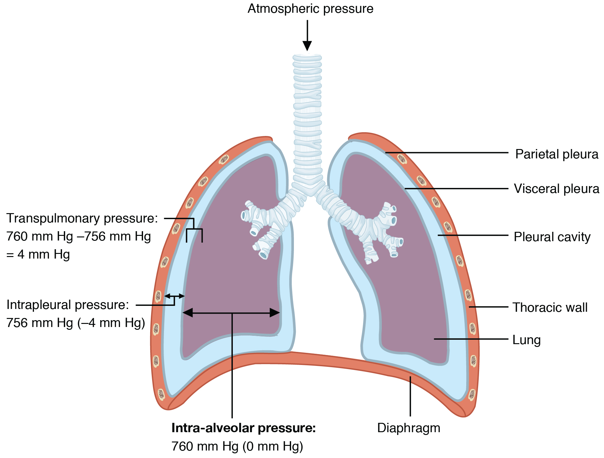 This diagram shows the lungs and the air pressure in different regions.