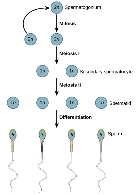 Spermatogenesis begins when the 2n spermatogonium undergoes mitosis, producing more spermatagonia. The spermatogonia undergo meiosis I, producing haploid (1n) secondary spermatocytes, and meiosis II, producing spermatids. Differentiation of the spermatids results in mature sperm.