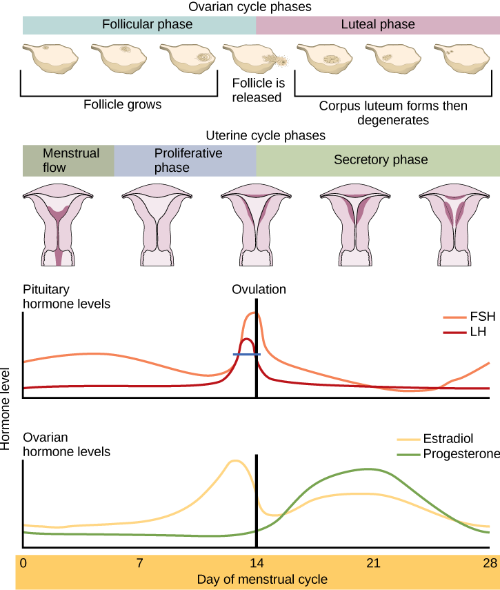 Hormonal Control Of Human Reproduction Boundless Biology