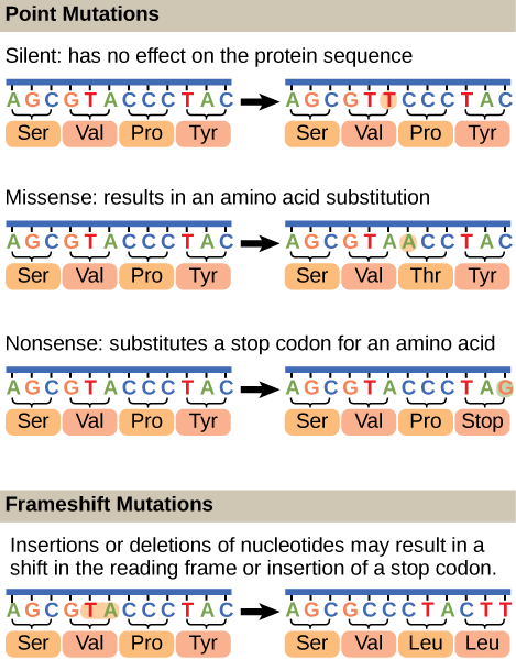 Mutations can lead to changes in the protein sequence encoded by the DNA
