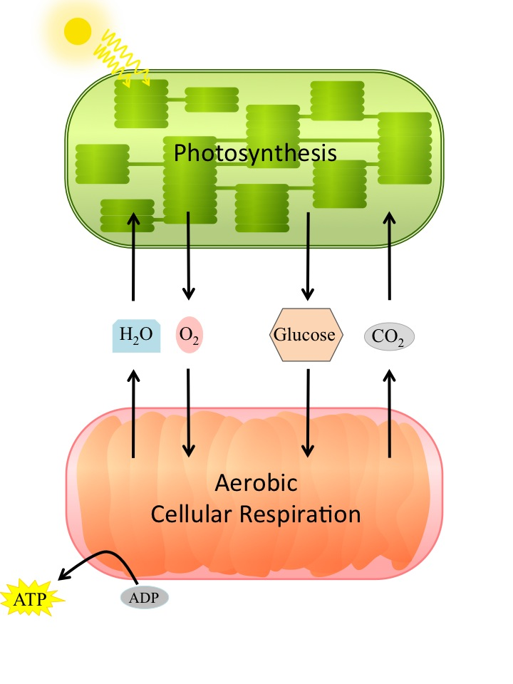 relationship between cellular respiration and circulatory system