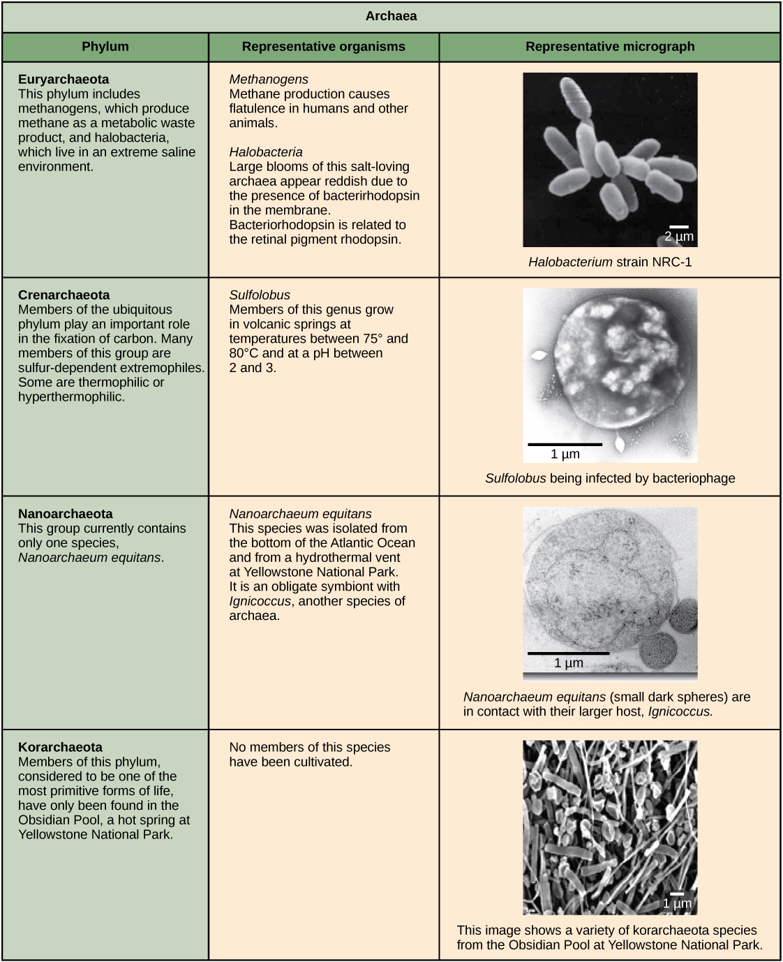 Characteristics of the four phyla of archaea are described. Euryarchaeotes includes methanogens, which produce methane as a metabolic waste product, and halobacteria, which live in an extreme saline environment. Methanogens cause flatulence in humans and other animals. Halobacteria can grow in large blooms that appear reddish, due to the presence of bacterirhodopsin in the membrane. Bacteriorhodopsin is related to the retinal pigment rhodopsin. Micrograph shows rod-shaped Halobacterium. Members of the ubiquitous Crenarchaeotes phylum play an important role in the fixation of carbon. Many members of this group are sulfur-dependent extremophiles. Some are thermophilic or hyperthermophilic. Micrograph shows cocci-shaped Sulfolobus, a genus which grows in volcanic springs at temperatures between 75° and 80°C and at a pH between 2 and 3. The phylum Nanoarchaeotes currently contains only one species, Nanoarchaeum equitans, which has been isolated from the bottom of the Atlantic Ocean, and from the a hydrothermal vent at Yellowstone National Park. It is an obligate symbiont with Ignococcus, another species of archaebacteria. Micrograph shows two small, round N. equitans cells attached to a larger Ignococcus cell. Korarchaeotes are considered to be one of the most primitive forms of life and so far have only been found in the Obsidian Pool, a hot spring at Yellowstone National Park. Micrograph shows a variety of specimens from this group which vary in shape.