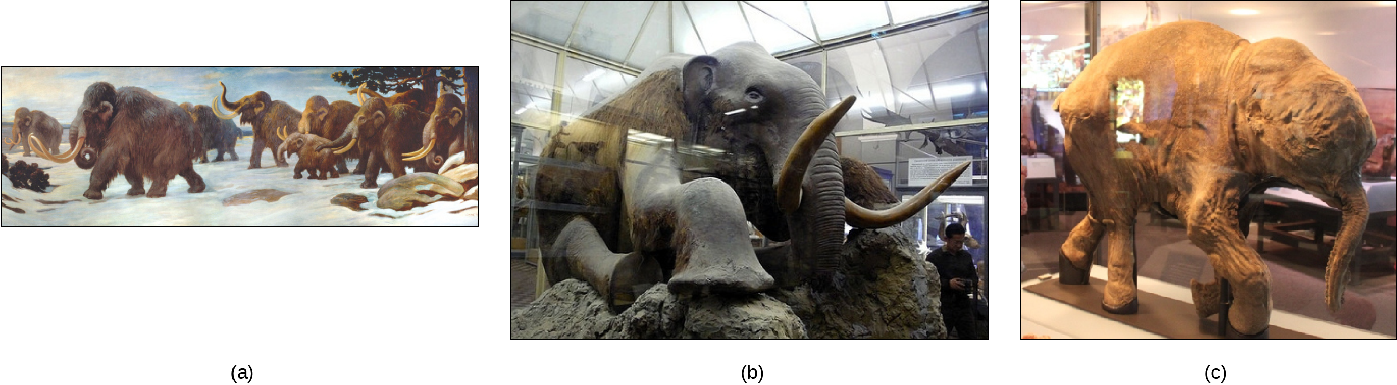 Photo (a) shows a painting of mammoths walking in the snow. Photo (b) shows a stuffed mammoth sitting in a museum display case. Photo (c) shows a mummified baby mammoth, also in a display case.