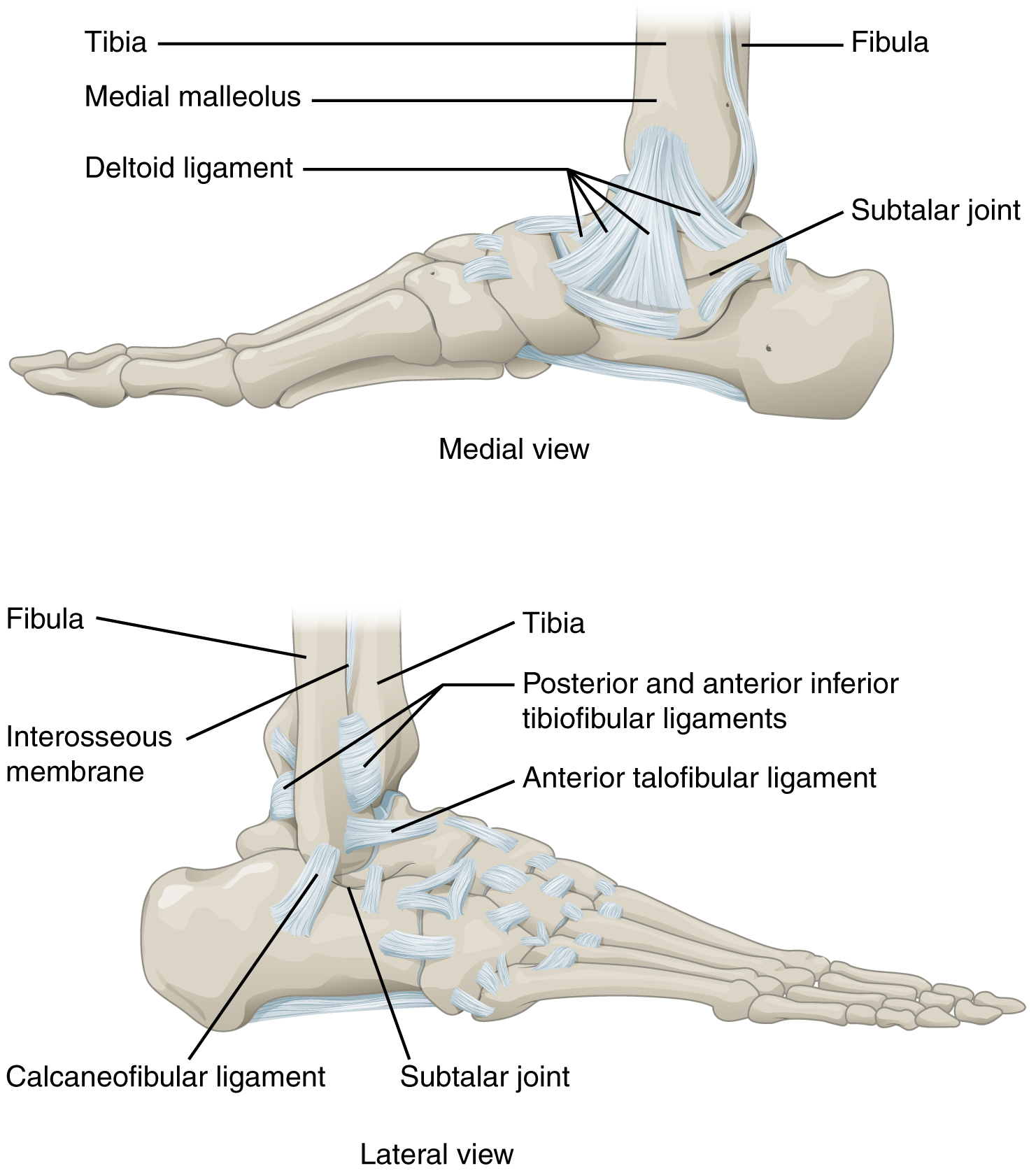 Ankle Bone Structure Bones in Ankle The Talocrural