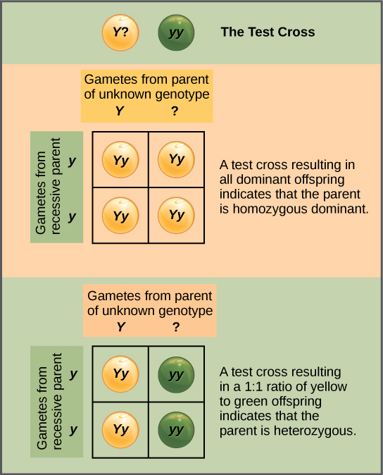 In a test cross, a parent with a dominant phenotype but unknown genotype is crossed with a recessive parent. If the parent with the unknown phenotype is homozygous dominant, all of the resulting offspring will have at least one dominant allele. If the parent with the unknown phenotype is heterozygous, fifty percent of the offspring will inherit a recessive allele from both parents and will have the recessive phenotype.