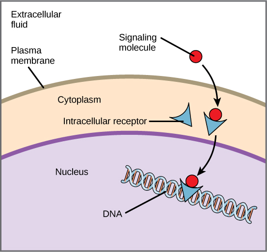 This illustration shows a hydrophobic signaling molecule that diffuses across the plasma membrane and binds an intracellular receptor in the cytoplasm. The intracellular receptor-signaling molecule complex then travels to the nucleus and binds DNA.