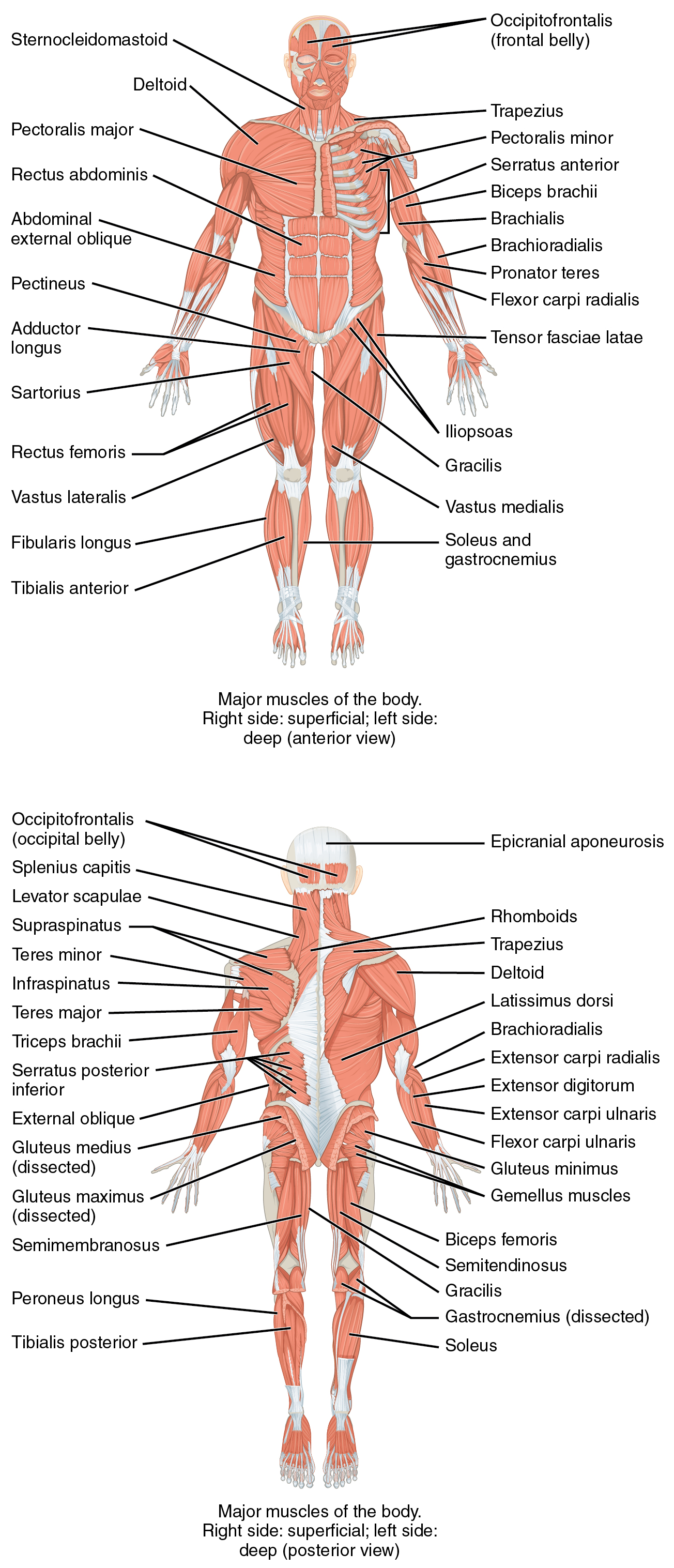 Muscular System As Physical Education