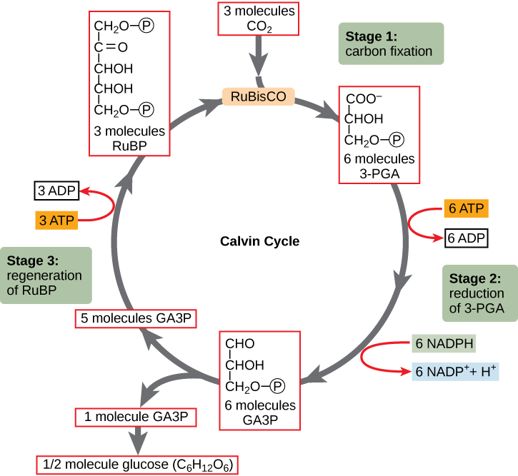 A diagram of the Calvin cycle is shown with its three stages: carbon fixation, 3-PGA reduction, and regeneration of RuBP. In stage 1, the enzyme RuBisCO adds a carbon dioxide to the five-carbon molecule RuBP, producing two three-carbon 3-PGA molecules. In stage 2, two NADPH and two ATP are used to reduce 3-PGA to GA3P. In stage 3 RuBP is regenerated from GA3P. One ATP is used in the process. Three complete cycles produces one new GA3P, which is shunted out of the cycle and made into glucose (C6H12O6).