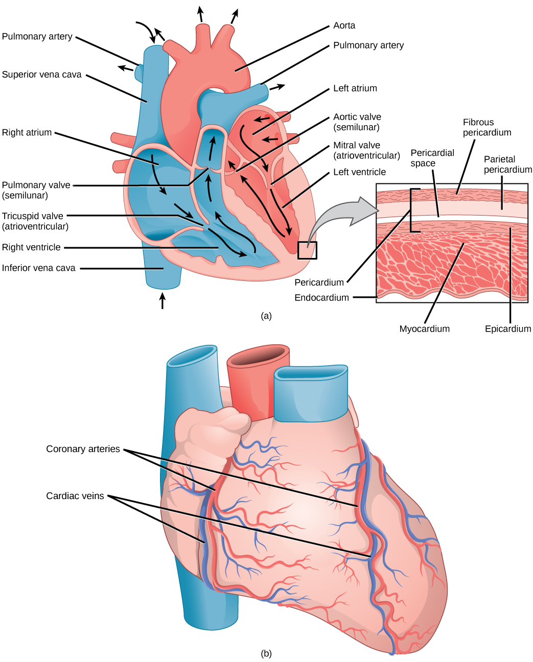 Illustration A shows the parts of the heart. Blood enters the right atrium through an upper, superior vena cava and a lower, inferior vena cava. From the right atrium, blood flows through the funnel-shaped tricuspid valve into the right ventricle. Blood then travels up and through the pulmonary valve into the pulmonary artery. Blood re-enters the heart through the pulmonary veins, and travels down from the left atrium, through the mitral valve, into the right ventricle. Blood then travels up through the aortic valve, into the aorta. The tricuspid and mitral valves are atrioventricular and funnel-shaped. The pulmonary and aortic valves are semilunar and slightly curved. An inset shows a cross section of the heart. The myocardium is the thick muscle layer. The inside of the heart is protected by the endocardium, and the outside is protected by the pericardium. Illustration B shows the outside of the heart. Coronary arteries and coronary veins run from the top down along the right and left sides.