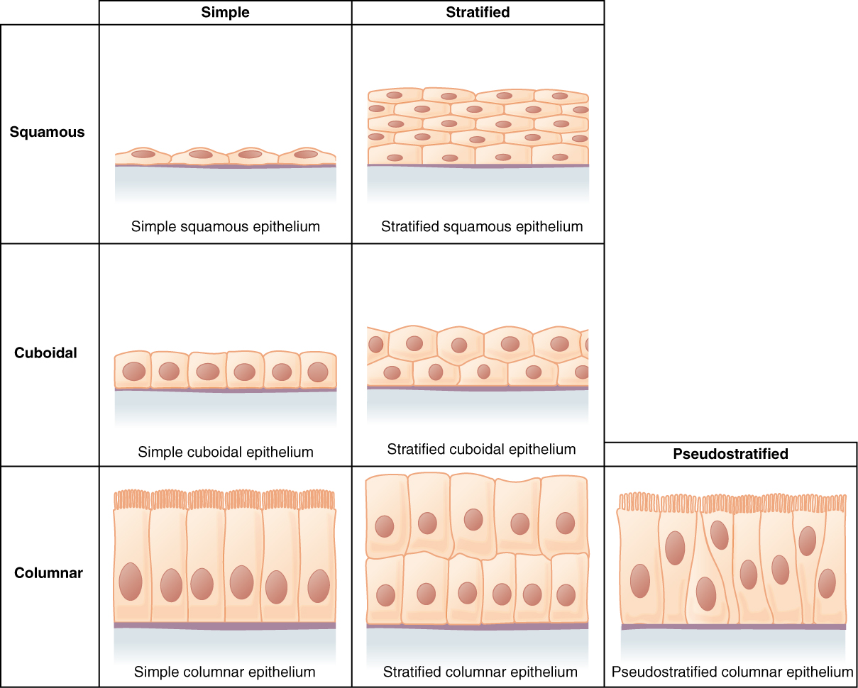 E-Book 02 - Epithelial Tissue: Classification of Epithelial Tissues