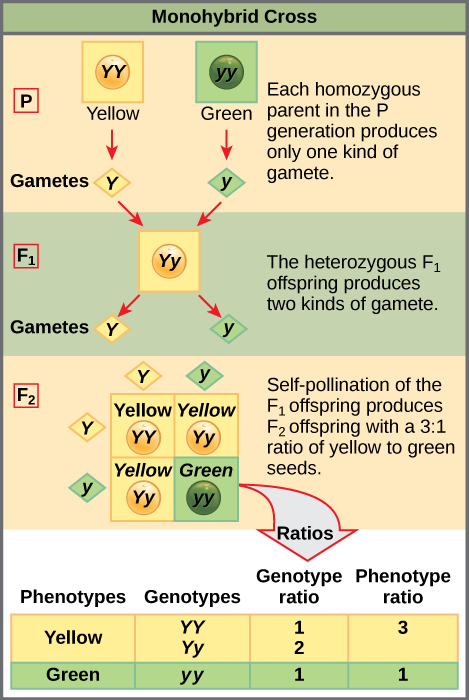 In the P generation, pea plants that are true-breeding for the dominant yellow phenotype are crossed with plants with the recessive green phenotype....
