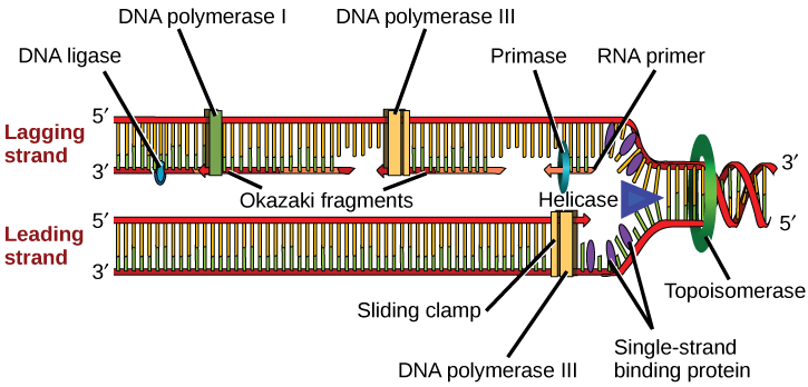 A replication fork is formed when helicase separates the DNA strands at the origin of replication...