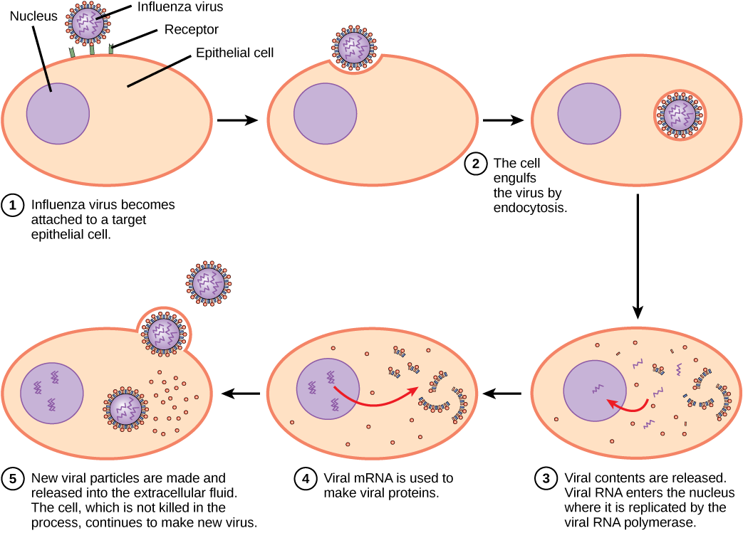 Live viruses such as HSV infect human cells, replicate, and destroy the infected cells 2