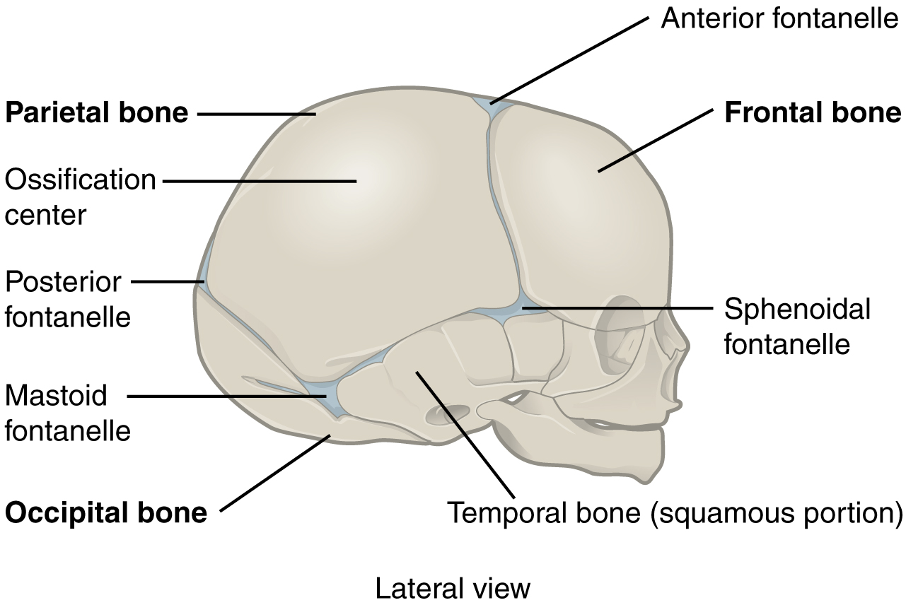 Fibrous Joints Anatomy Physiology Openstax Cnx