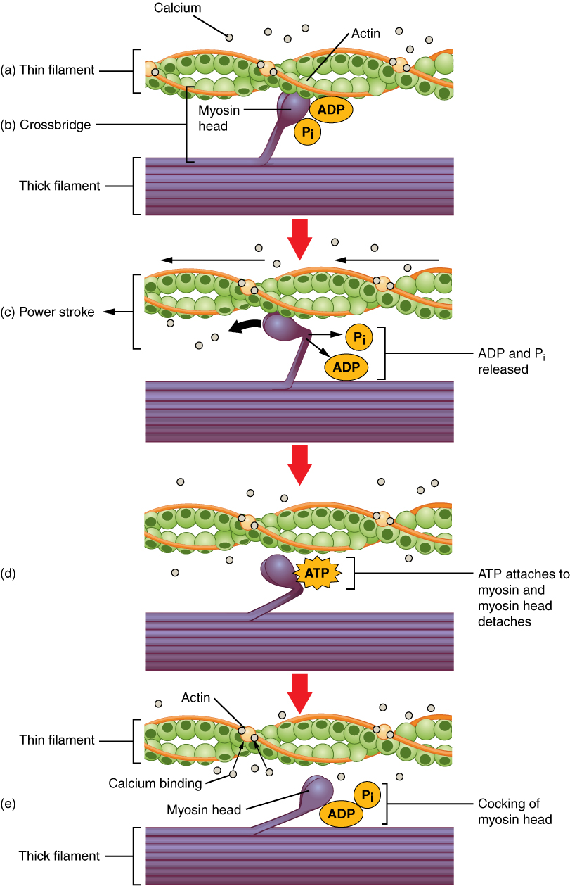 This multipart figure shows the mechanism of skeletal muscle contraction. In the top panel, the ADP and inorganic phosphate molecules are bound to the myosin motor head. In the middle panel, the ADP and phosphate come off the myosin motor and the direction of the power stroke is shown. In the bottom panel, a molecule of ATP is shown to bind the myosin motor head and the motor is reset.