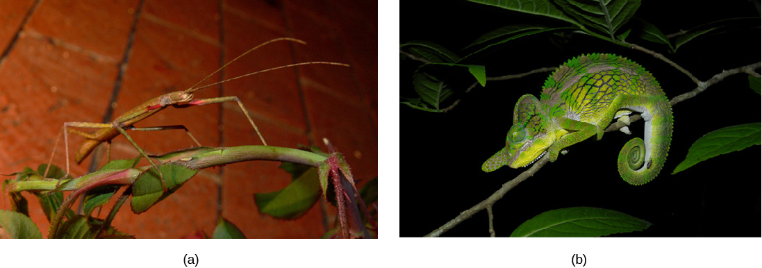 Photo (a) shows a green walking stick insect that resembles the stem on which it sits. Photo (b) shows a green chameleon that resembles a leaf.