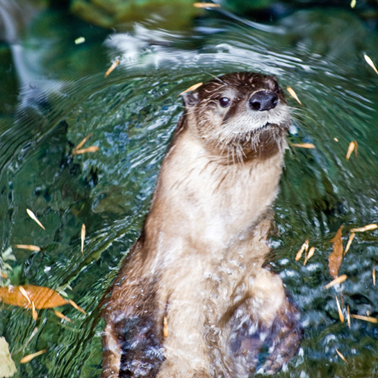 Photo shows a river otter swimming.