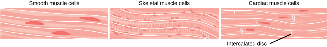 The smooth muscle cells are long and arranged in parallel bands. Each cell has a long, narrow nucleus. Skeletal muscle cells are also long but have striations across them and many small nuclei per cell. Cardiac muscles are shorter than smooth or skeletal muscle cells, and each cell has one nucleus.